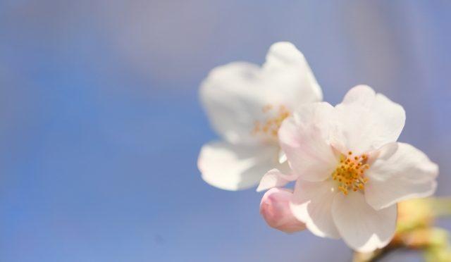 石井さん 桜